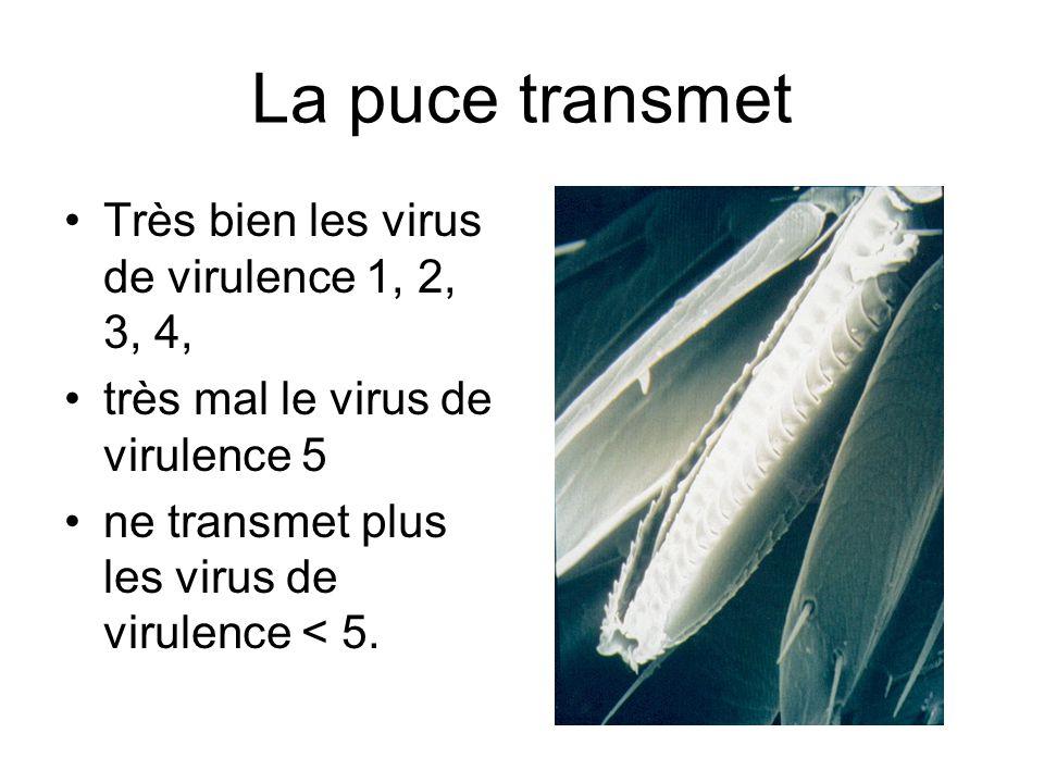 La puce transmet Très bien les virus de virulence 1, 2, 3, 4,