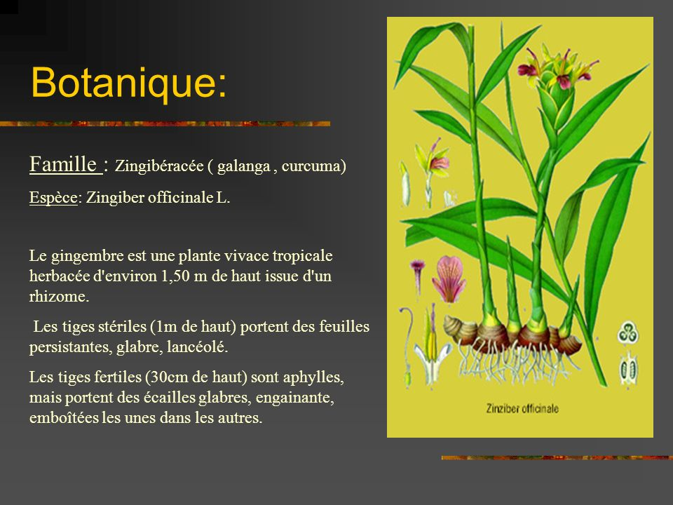 Botanique: Famille : Zingibéracée ( galanga , curcuma)
