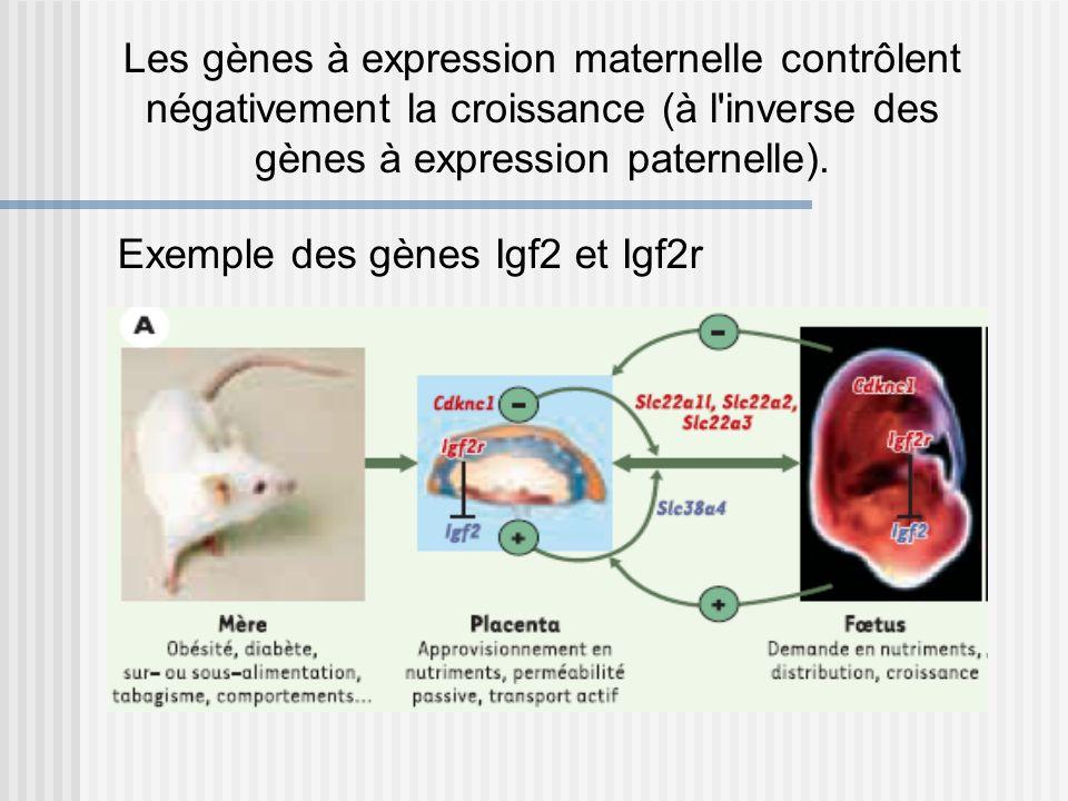 Les gènes à expression maternelle contrôlent négativement la croissance (à l inverse des gènes à expression paternelle).