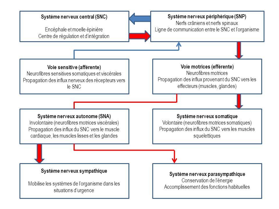 Système nerveux central (SNC) Encéphale et moelle épinière