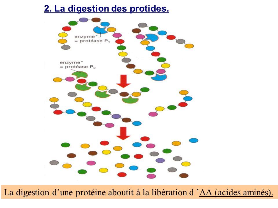 2. La digestion des protides.