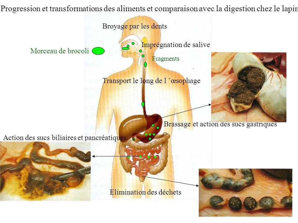 Progression et transformations des aliments et comparaison avec la digestion chez le lapin
