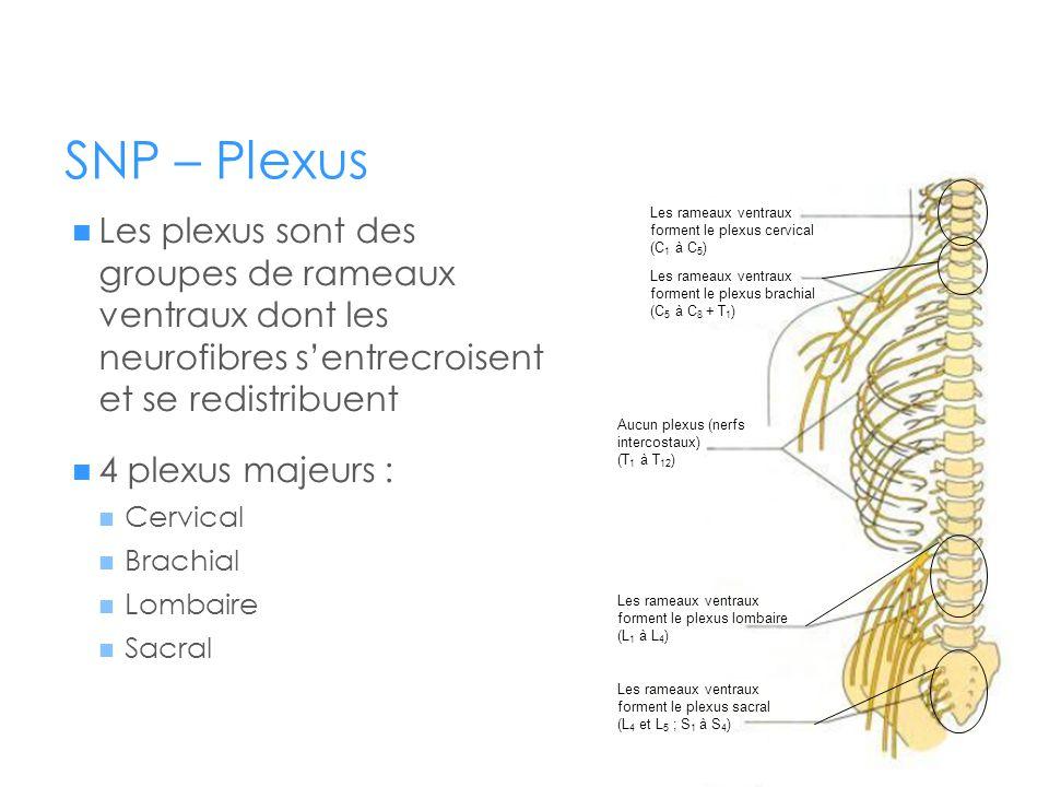SNP – Plexus Les plexus sont des groupes de rameaux ventraux dont les neurofibres s'entrecroisent et se redistribuent.