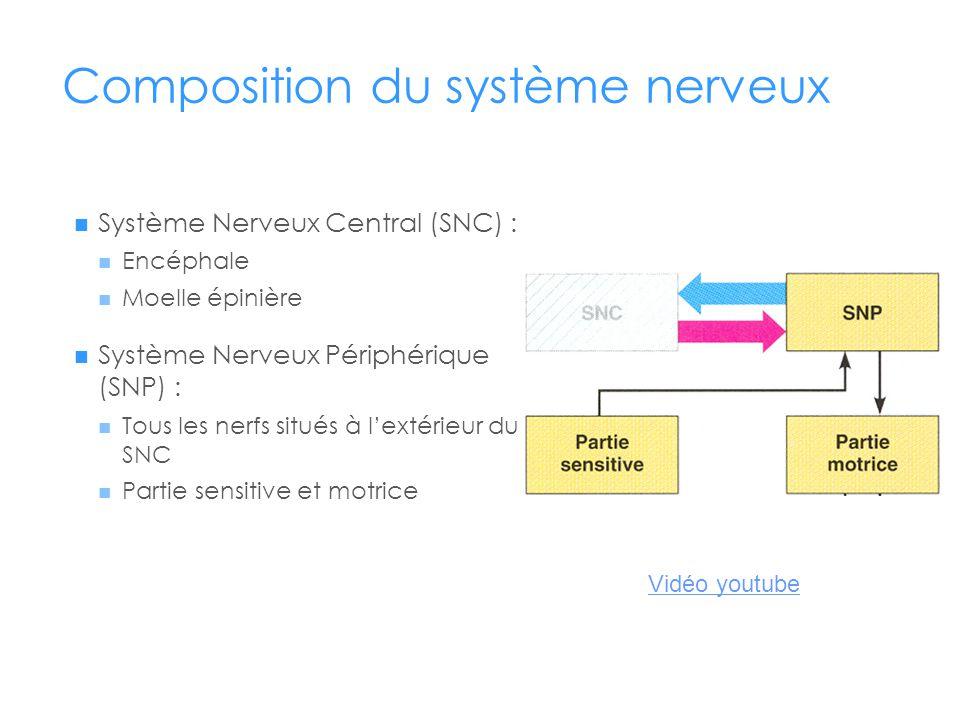 Composition du système nerveux