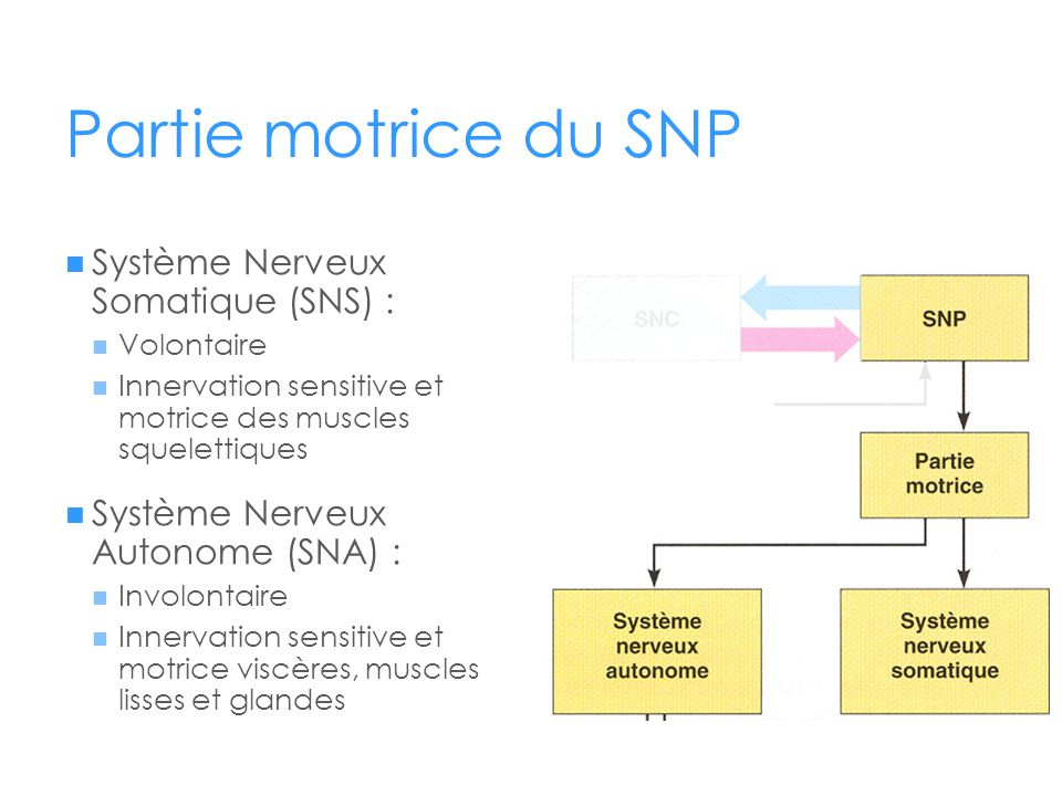 Partie motrice du SNP Système Nerveux Somatique (SNS) :