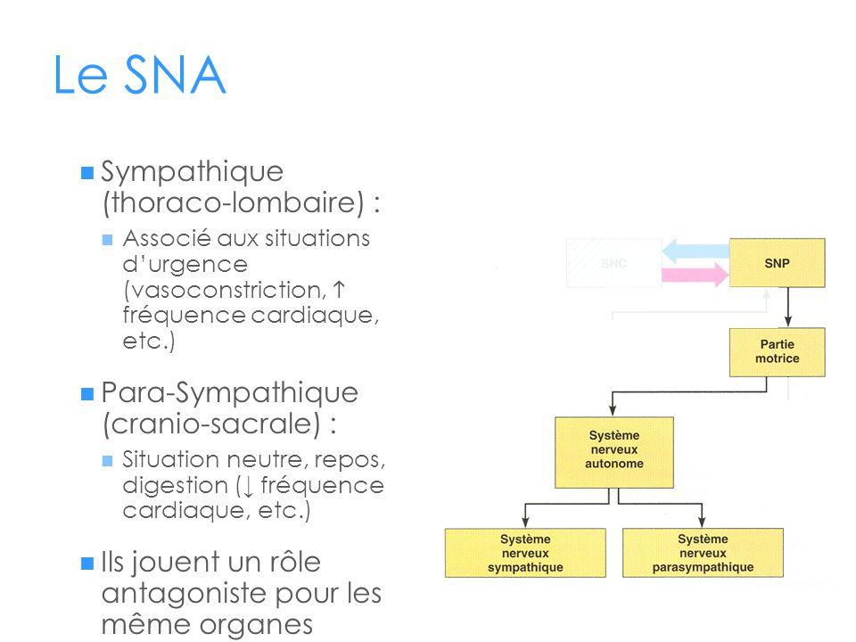 Le SNA Sympathique (thoraco-lombaire) :