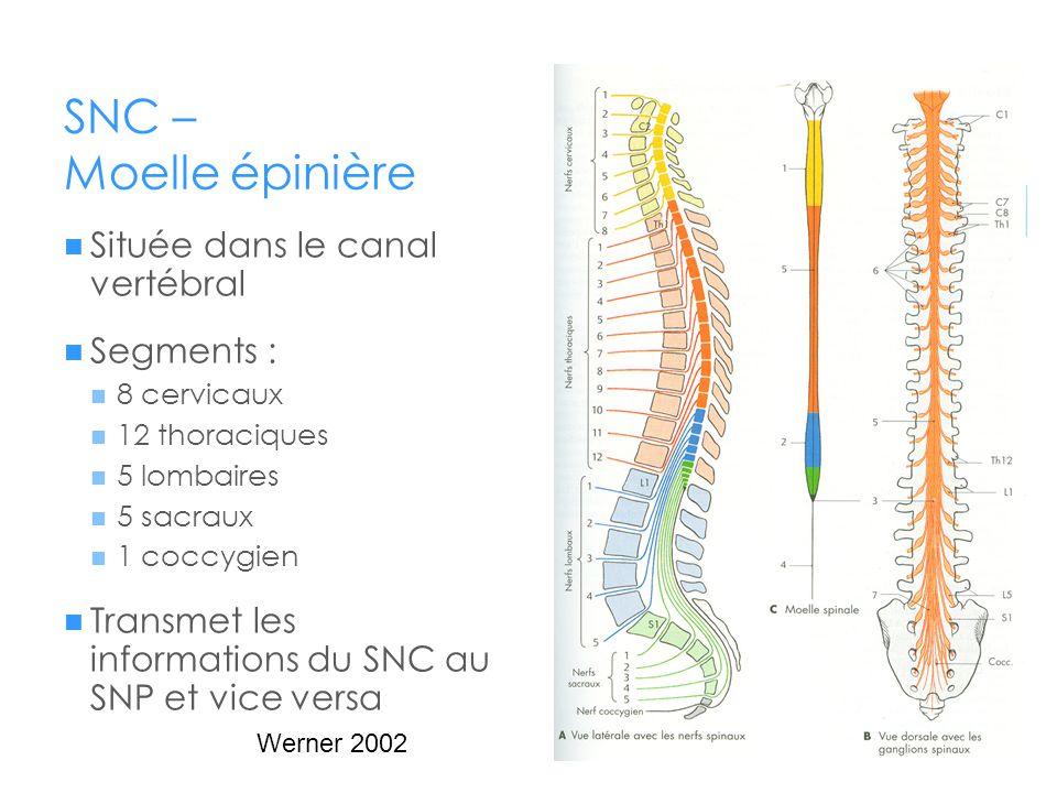 SNC – Moelle épinière Située dans le canal vertébral Segments :