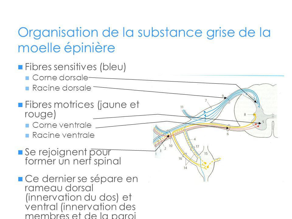 Organisation de la substance grise de la moelle épinière