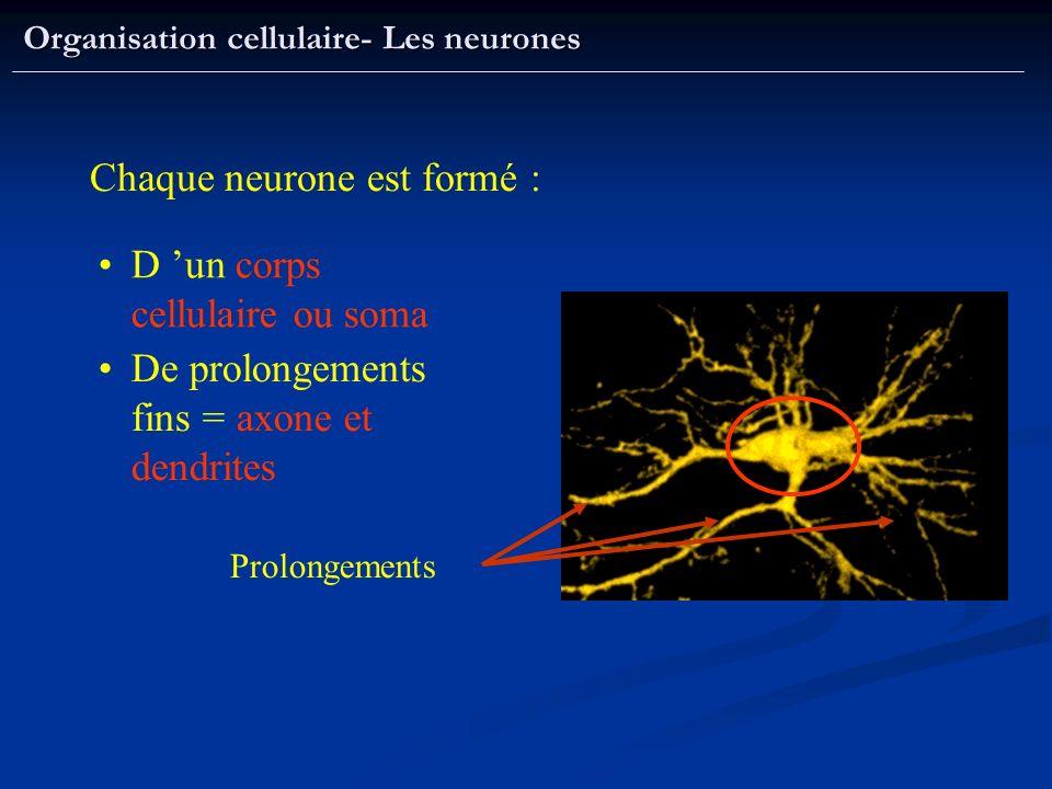 Chaque neurone est formé :