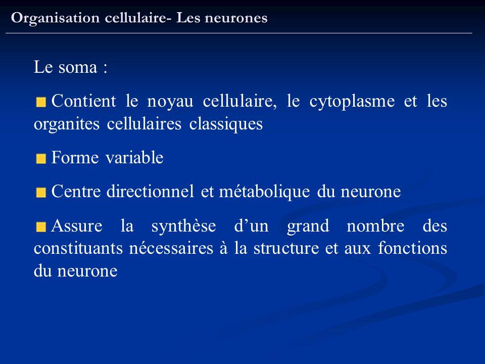 Centre directionnel et métabolique du neurone