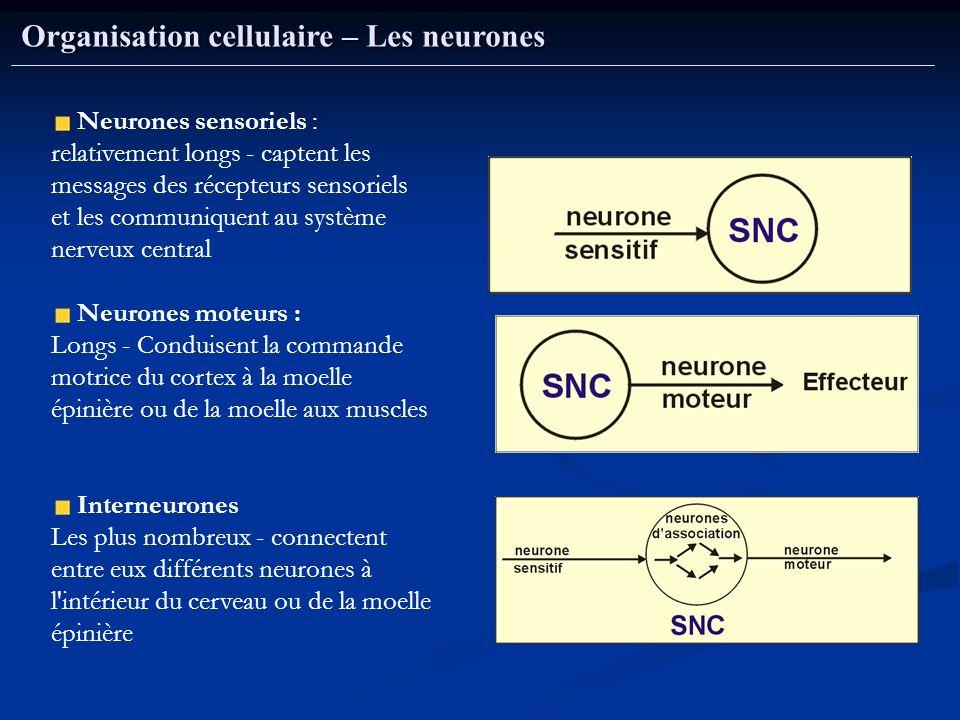 Organisation cellulaire – Les neurones