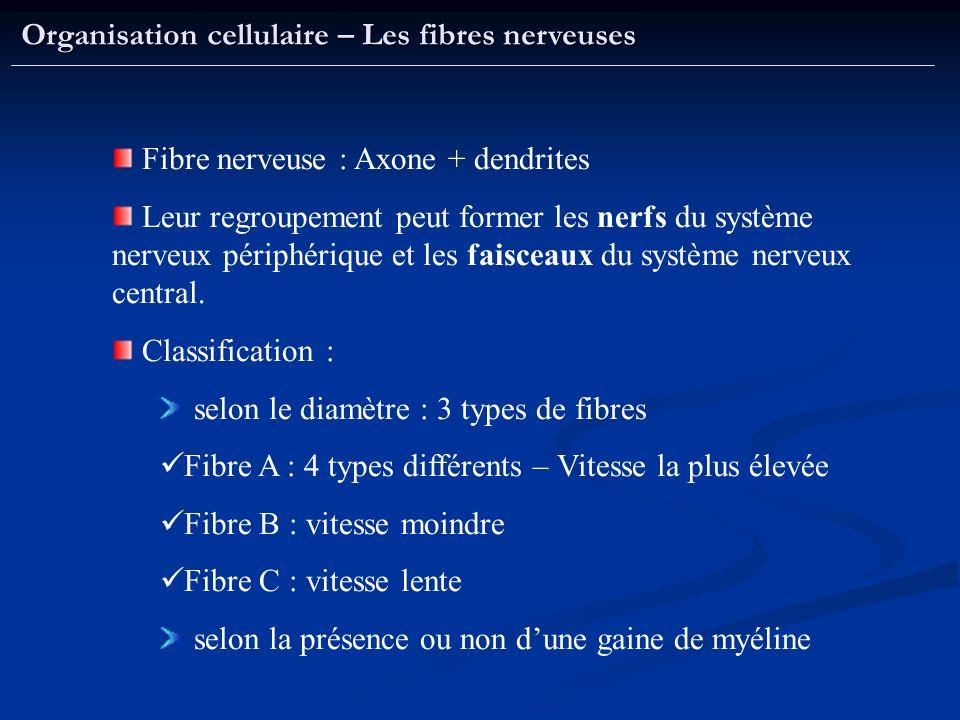 Organisation cellulaire – Les fibres nerveuses