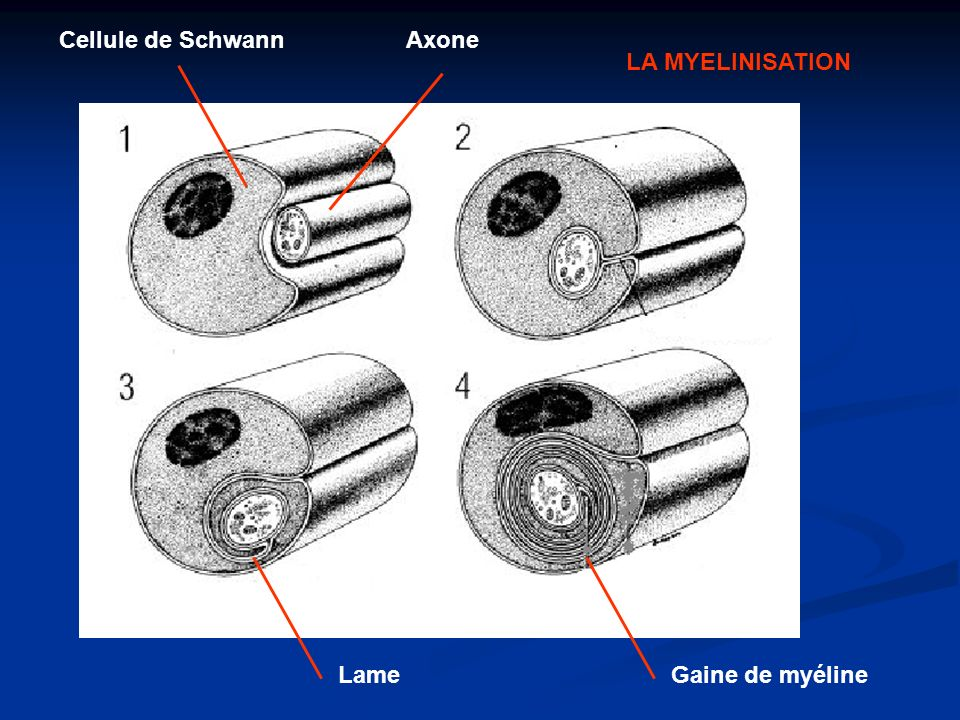 Cellule de Schwann Axone LA MYELINISATION Lame Gaine de myéline