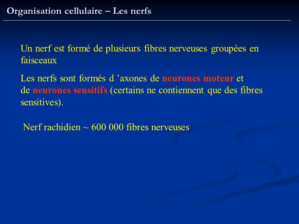 Organisation cellulaire – Les nerfs