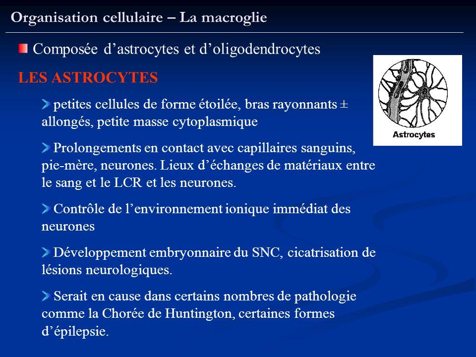 Organisation cellulaire – La macroglie