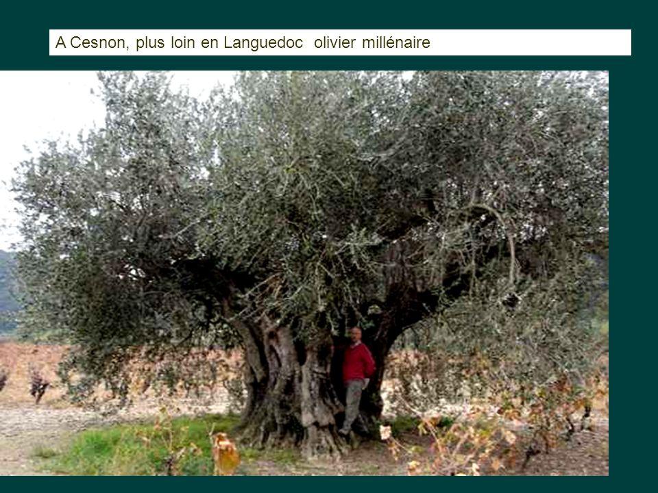 A Cesnon, plus loin en Languedoc olivier millénaire