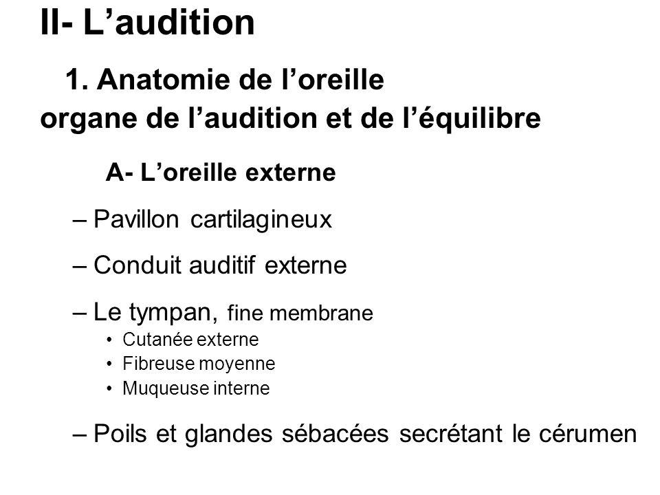 II- L'audition 1. Anatomie de l'oreille