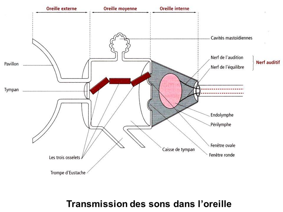 Transmission des sons dans l'oreille