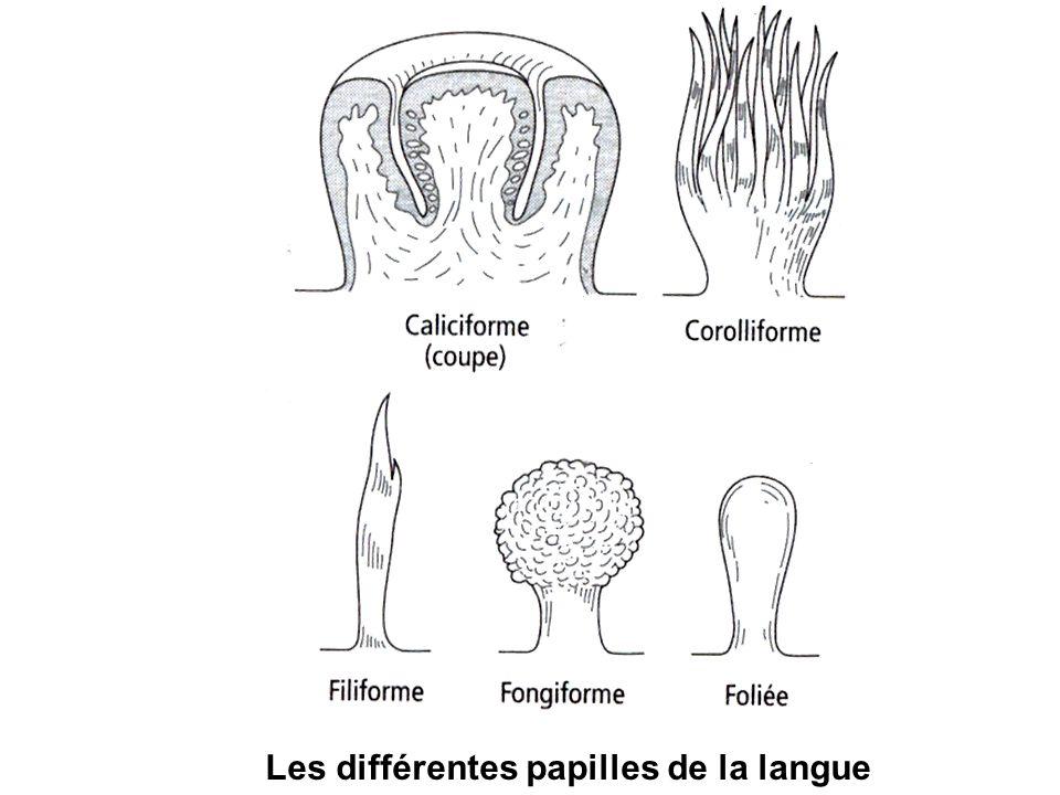 Les différentes papilles de la langue