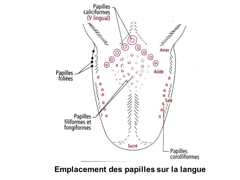 Emplacement des papilles sur la langue