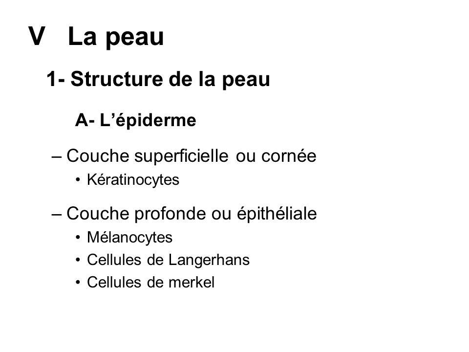 V La peau 1- Structure de la peau A- L'épiderme