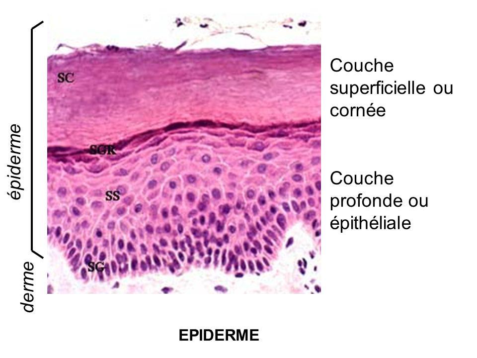 Couche superficielle ou cornée