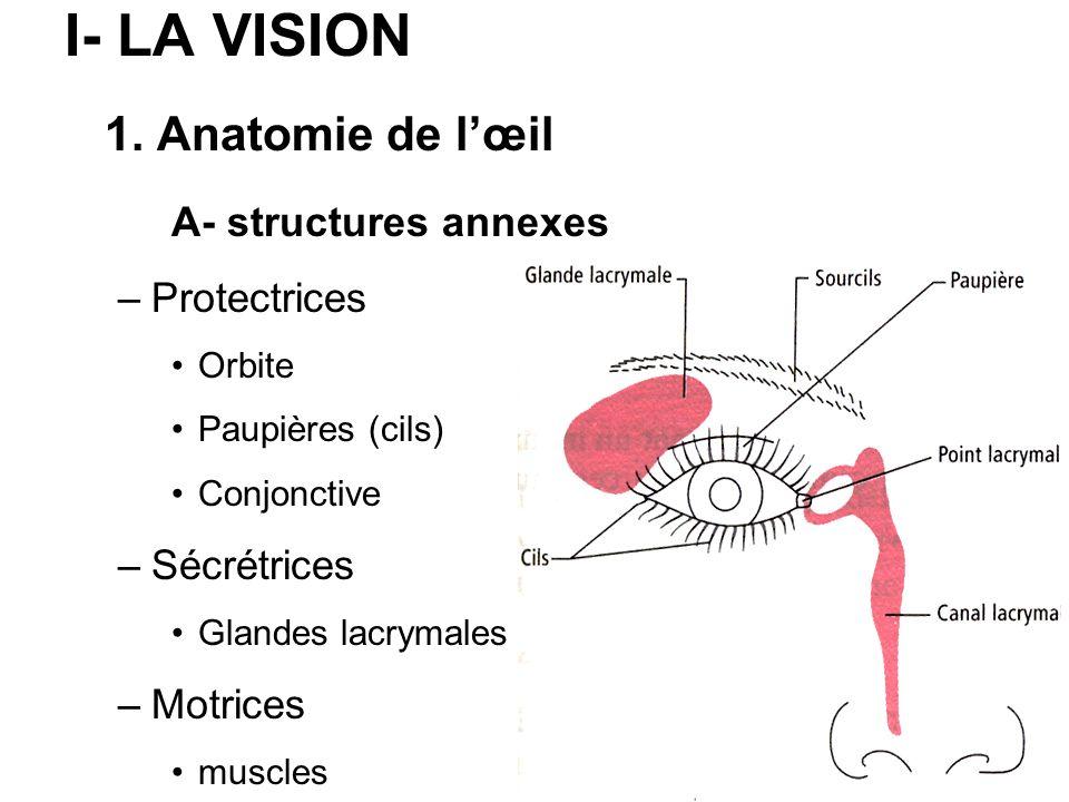 I- LA VISION 1. Anatomie de l'œil A- structures annexes Protectrices