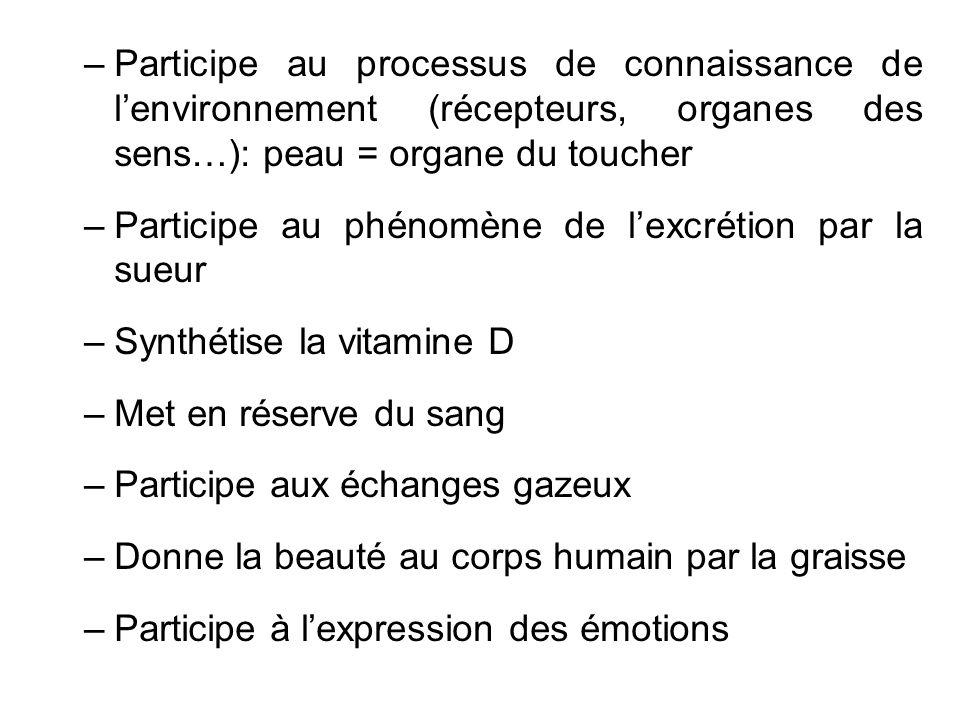 Participe au processus de connaissance de l'environnement (récepteurs, organes des sens…): peau = organe du toucher