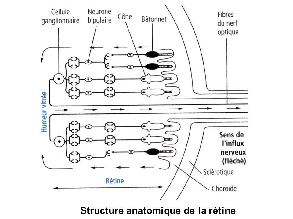 Structure anatomique de la rétine