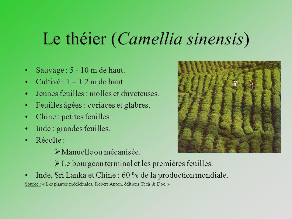 Le théier (Camellia sinensis)
