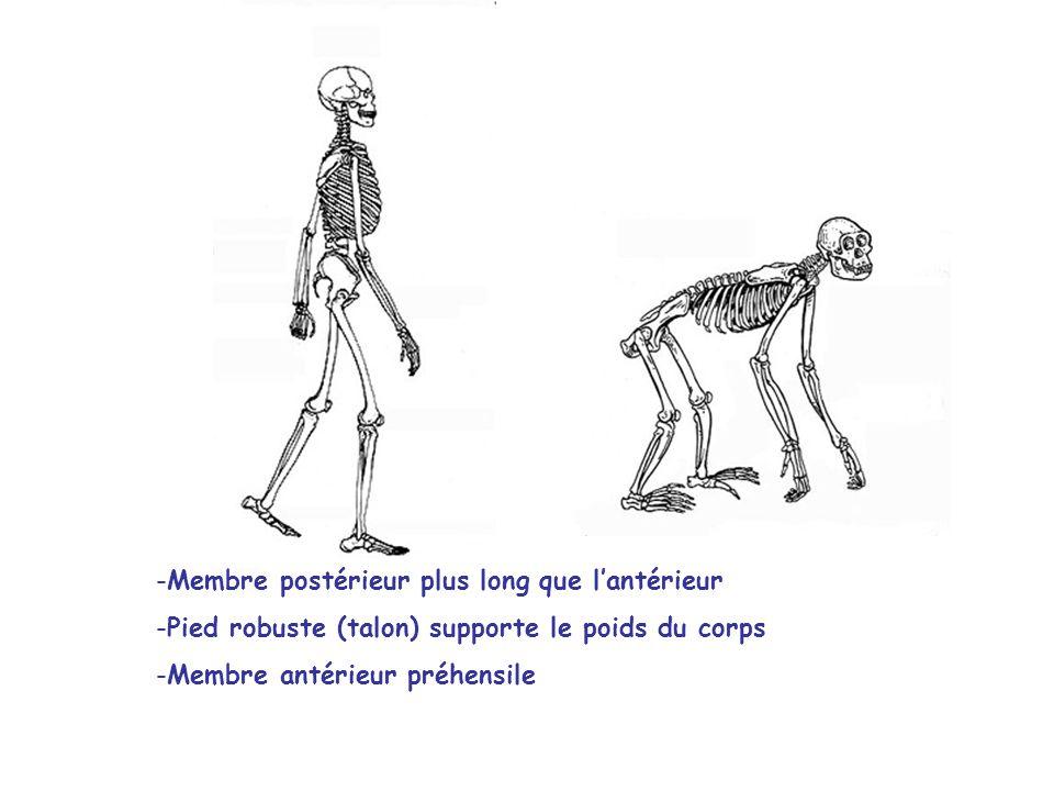 Membre postérieur plus long que l'antérieur