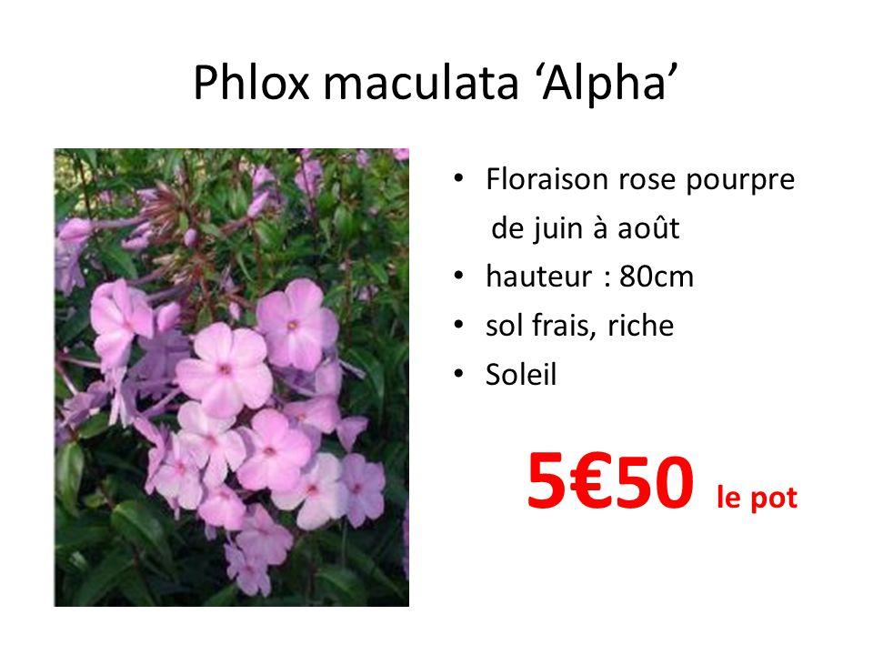 Phlox maculata 'Alpha'