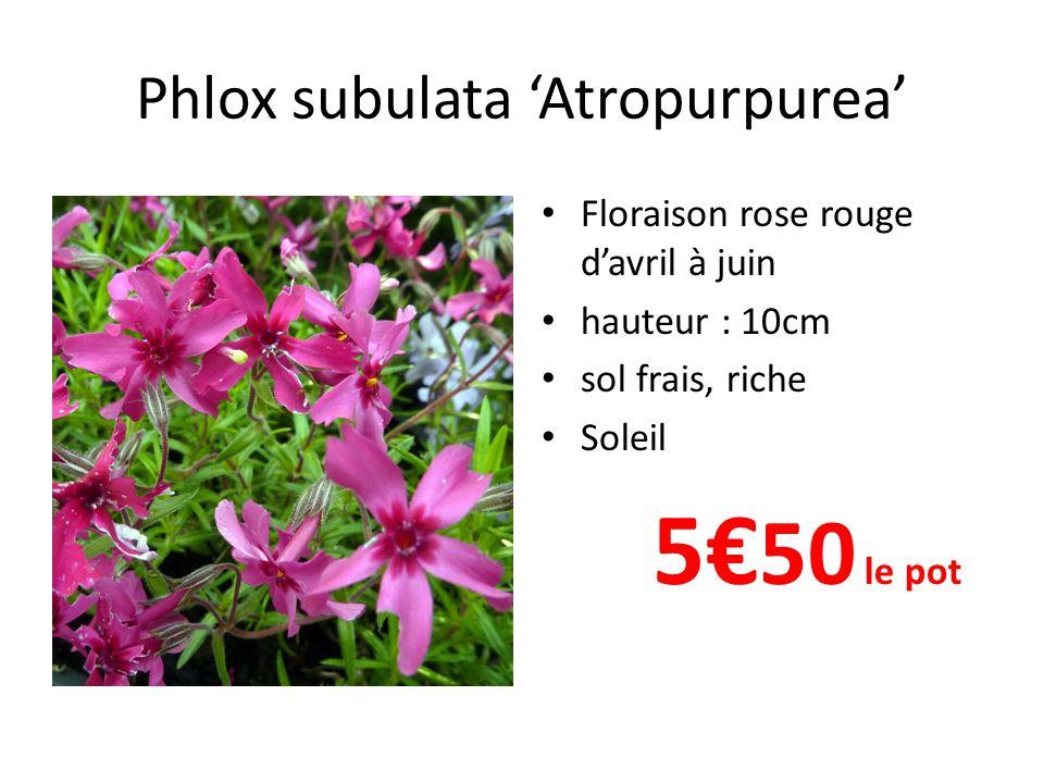 Phlox subulata 'Atropurpurea'