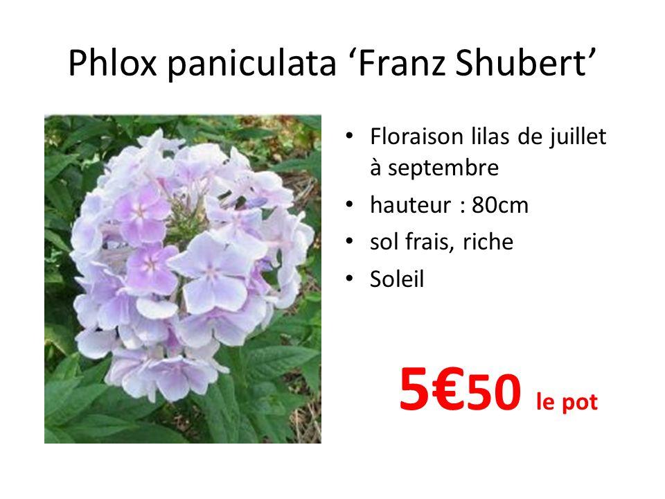 Phlox paniculata 'Franz Shubert'