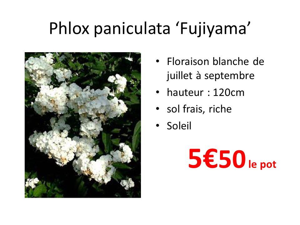 Phlox paniculata 'Fujiyama'