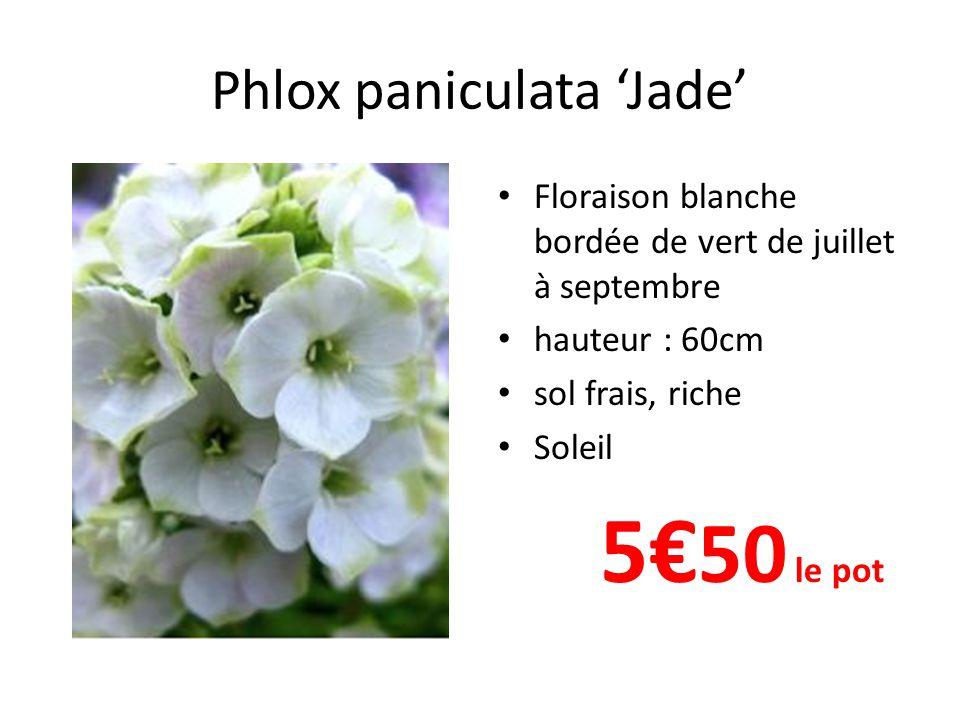 Phlox paniculata 'Jade'