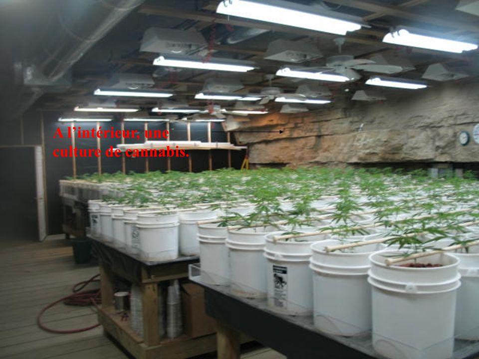 A l'intérieur, une culture de cannabis.