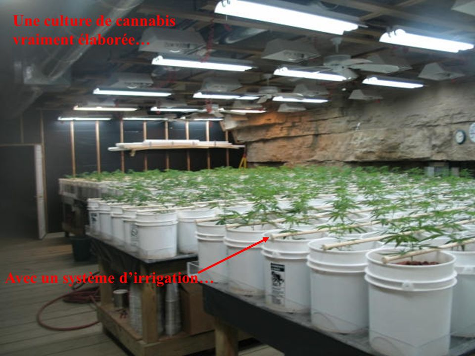 Une culture de cannabis vraiment élaborée…