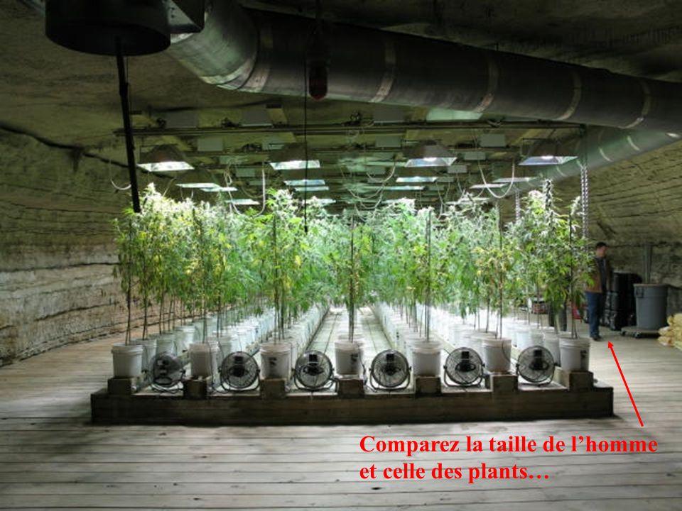 Comparez la taille de l'homme et celle des plants…