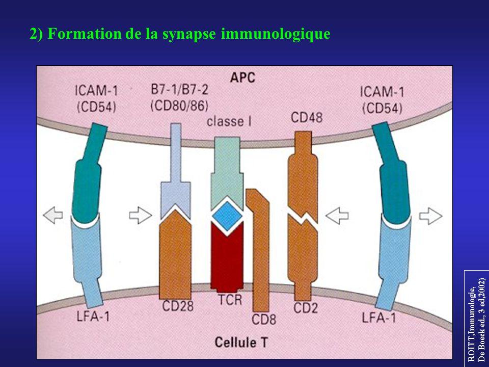 2) Formation de la synapse immunologique
