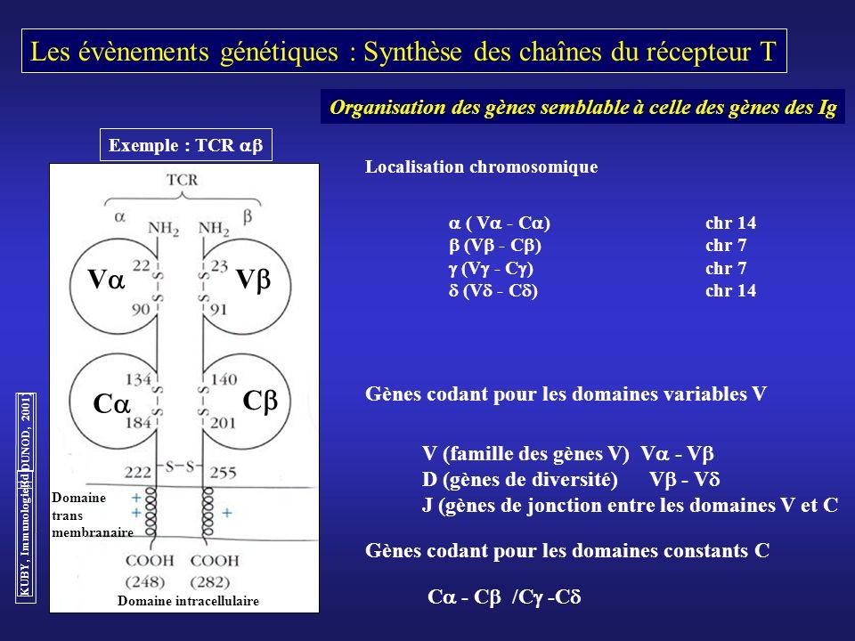 Les évènements génétiques : Synthèse des chaînes du récepteur T