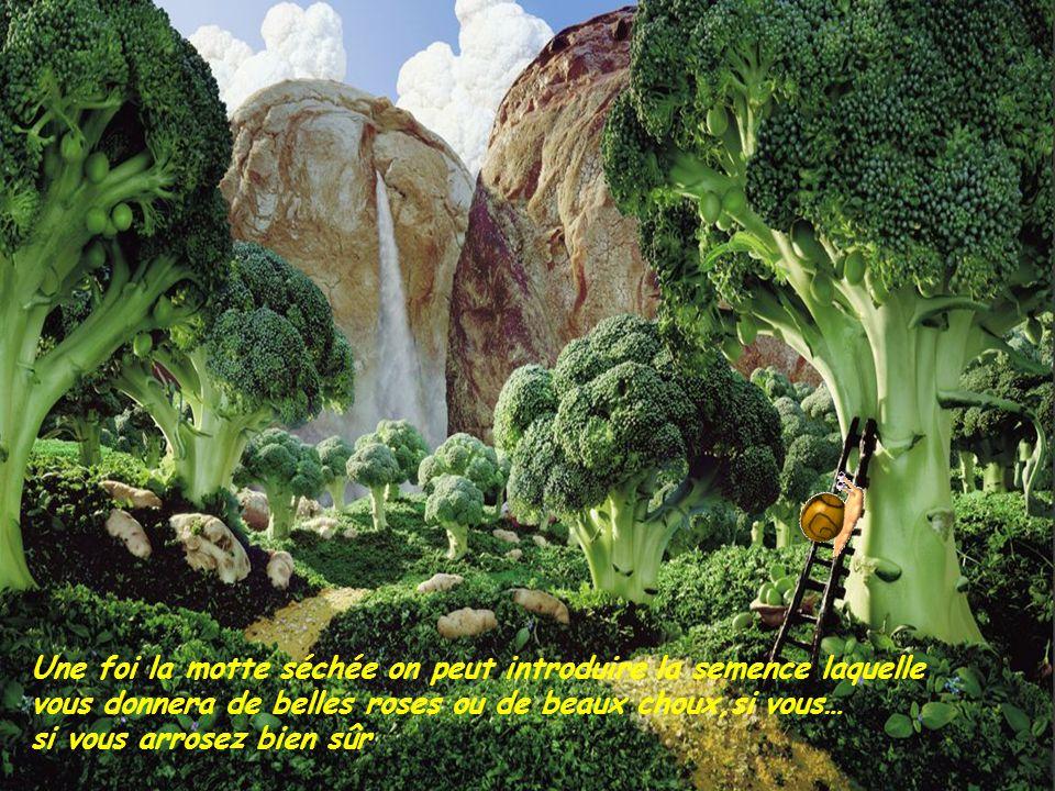 Une foi la motte séchée on peut introduire la semence laquelle