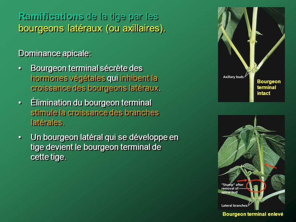 Ramifications de la tige par les bourgeons latéraux (ou axillaires).