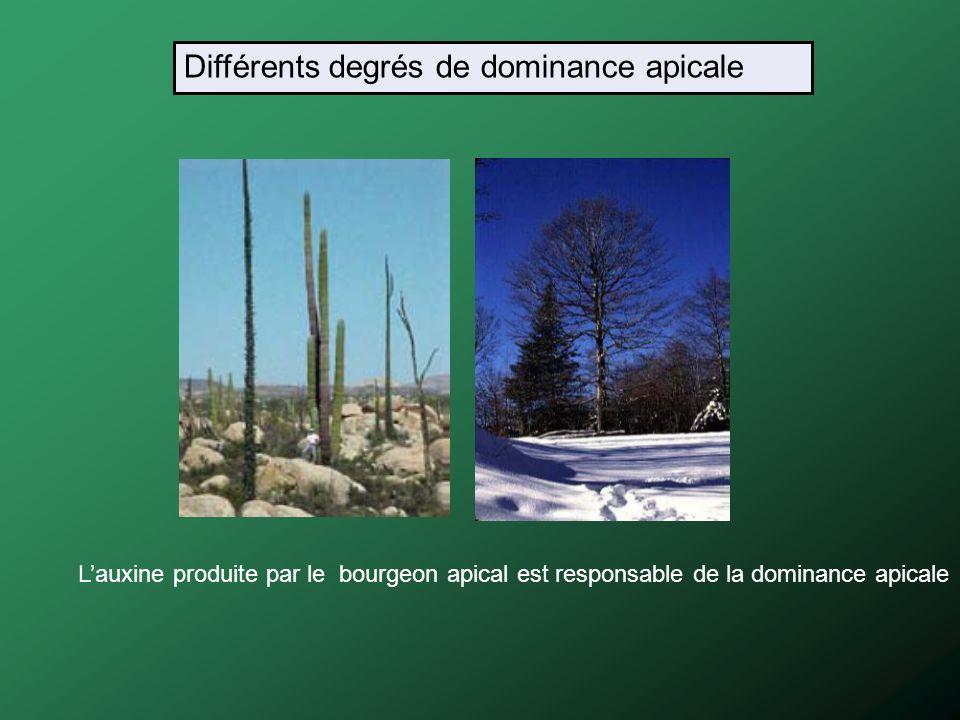 Différents degrés de dominance apicale