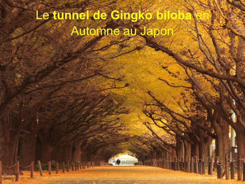 Le tunnel de Gingko biloba en Automne au Japon