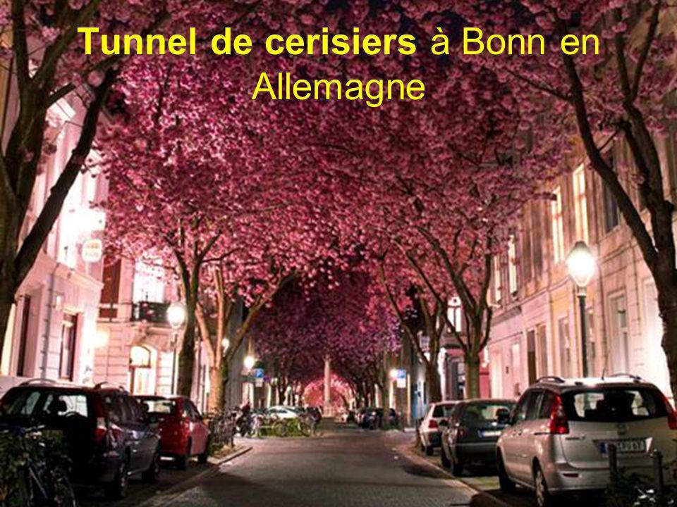 Tunnel de cerisiers à Bonn en Allemagne