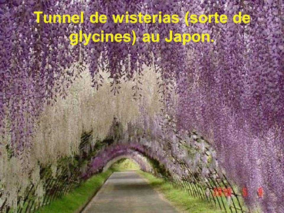 Tunnel de wisterias (sorte de glycines) au Japon.