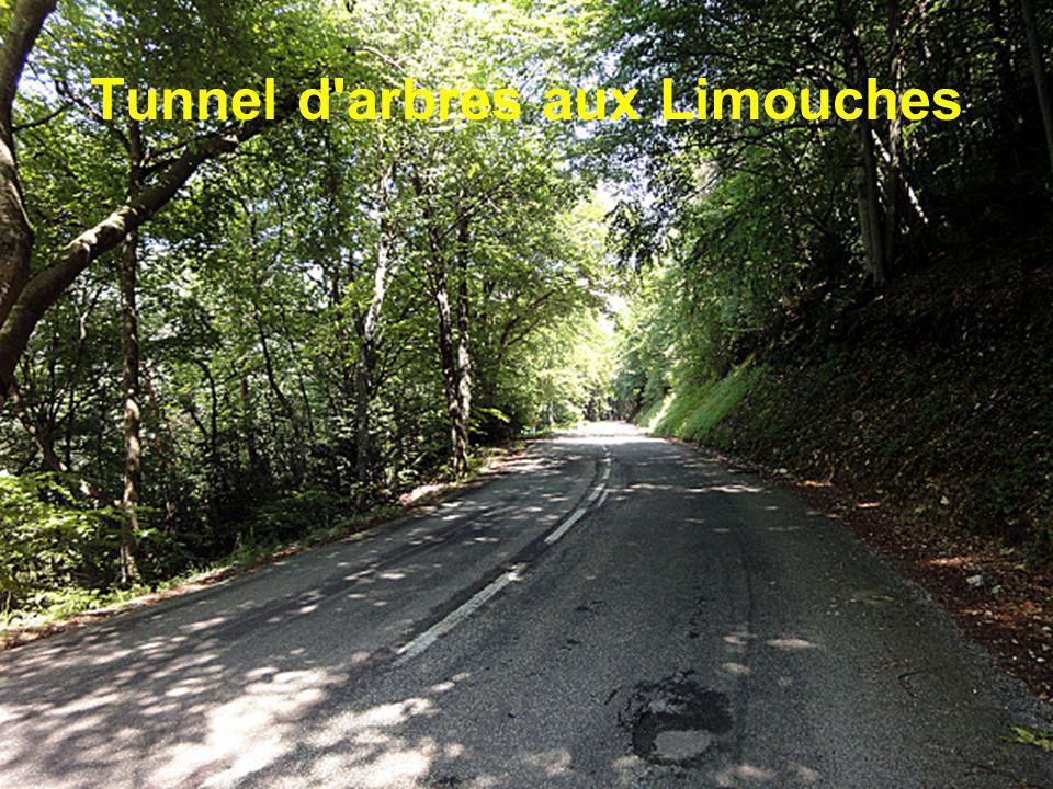 Tunnel d arbres aux Limouches