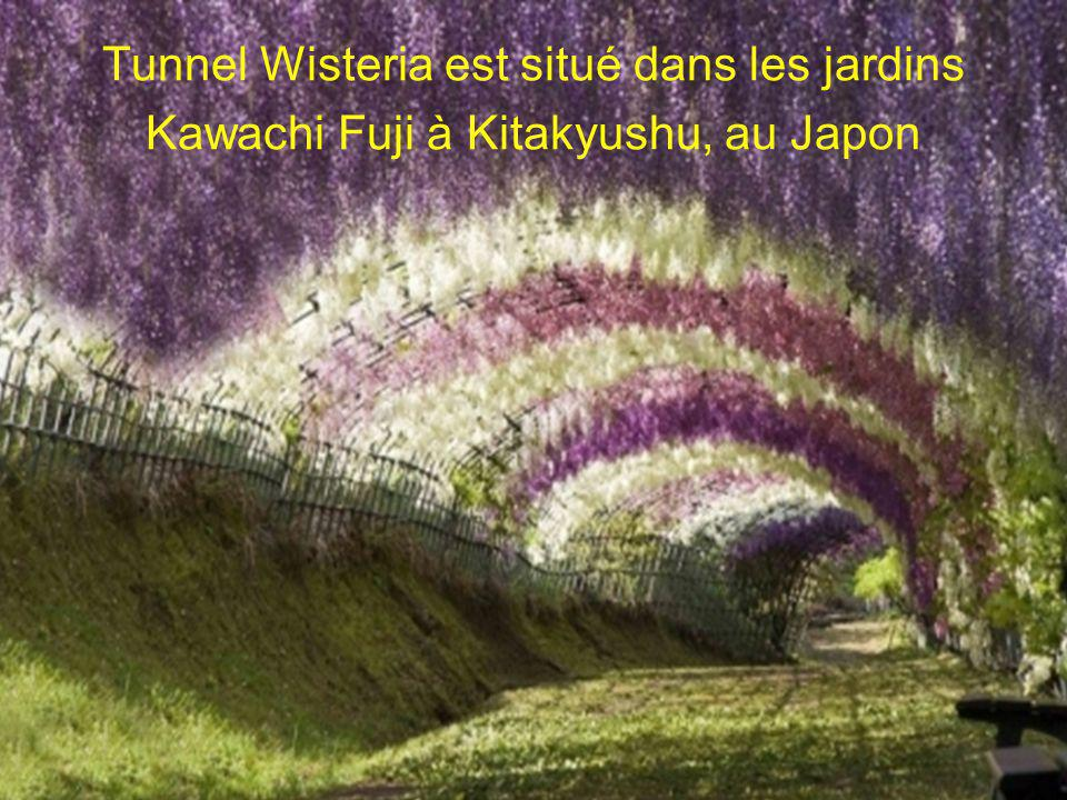 Tunnel Wisteria est situé dans les jardins Kawachi Fuji à Kitakyushu, au Japon