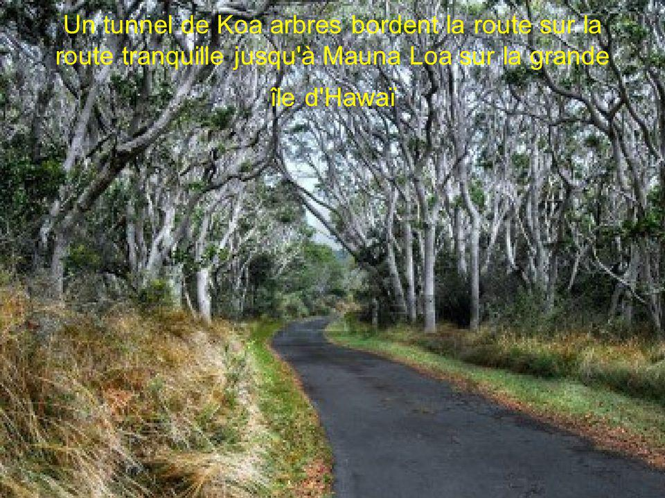 Un tunnel de Koa arbres bordent la route sur la route tranquille jusqu à Mauna Loa sur la grande île d Hawaï